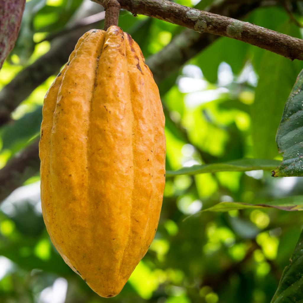 Le fruit du cacao
